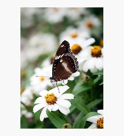 White Daisies  Photographic Print