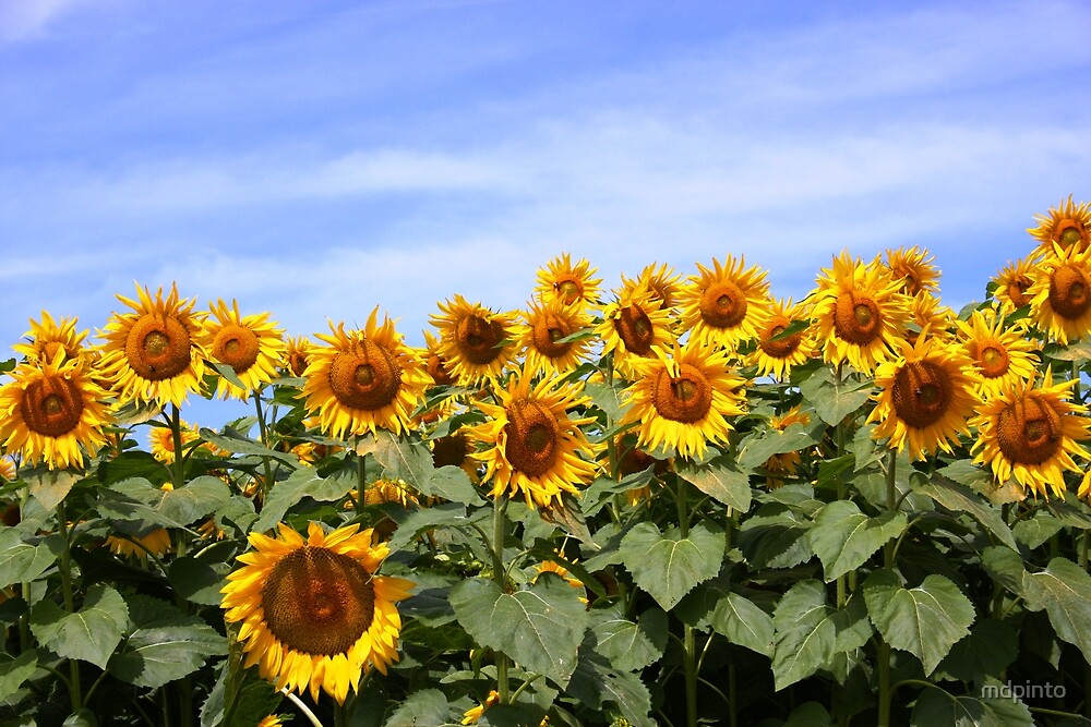 Sunflower Patch - Prince Edward County by mdpinto
