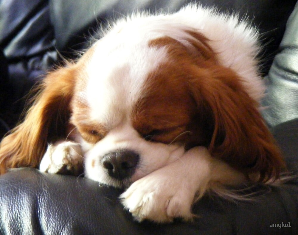 Dog napping by amylw1