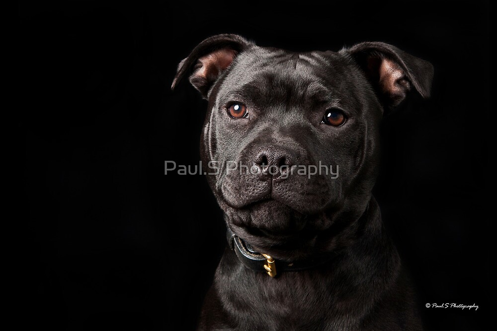 Black Stafford by Paul.S Photography