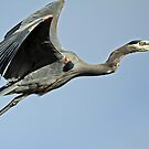 Great Blue Heron <> Off to a Safer Perch by Chuck Gardner