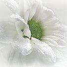 ~ White Beauty ~ by Brenda Boisvert