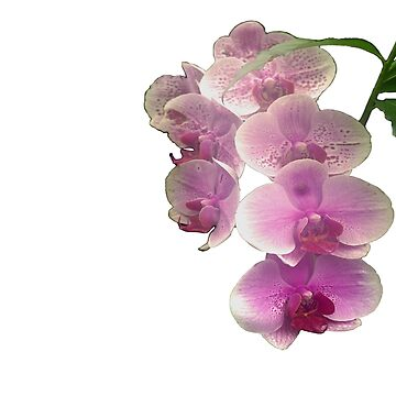 Pretty in pink orchids by elainepearson21