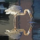 Great blue heron with reflection by Anthony Goldman