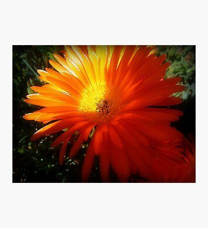 Succulent - Common Orange Pigface in Garden Photographic Print