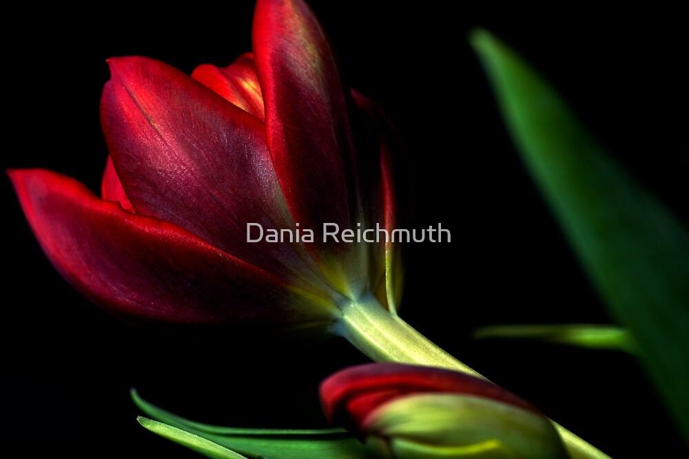 Winter Tulips by Dania Reichmuth