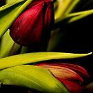 Winter Tulips II by Dania Reichmuth