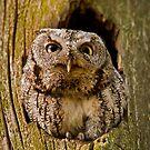 Screech Owl  by Daniel  Parent