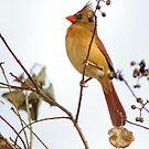 Florida Cardinal by Deborah  Benoit