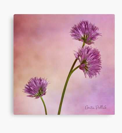 Chive Blossoms Canvas Print