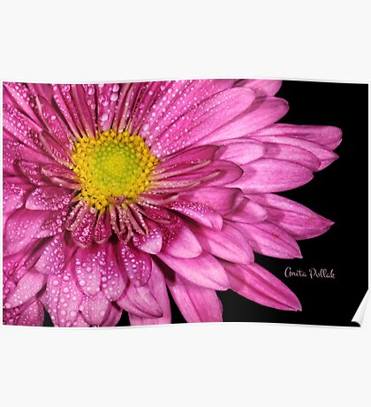 Droplets on a Pink Dahlia Poster