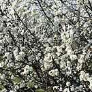 White Blossom by LydiaWoods
