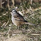 White Crowned Sparrow by Dennis Cheeseman