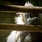 Langur Behind Bars by Gregory Colvin