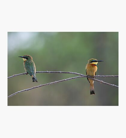 Little Bee-eaters Photographic Print