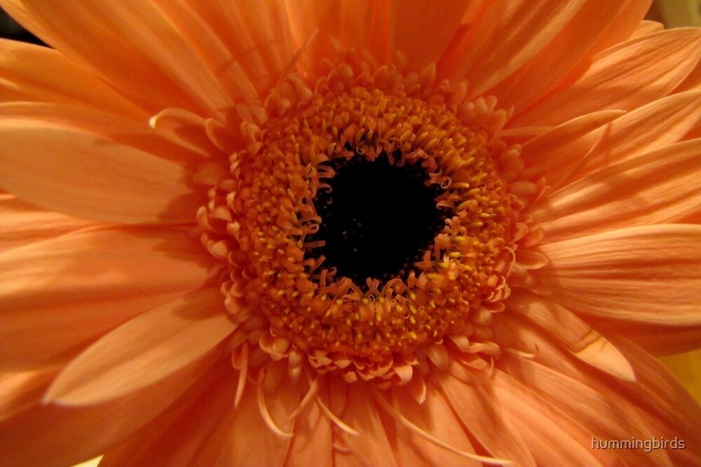 Gorgeous Orange Gerbera by hummingbirds