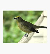 Palm Tanager Profile Photographic Print