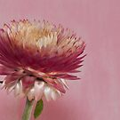 Many Pink Petals  by Sandra Foster