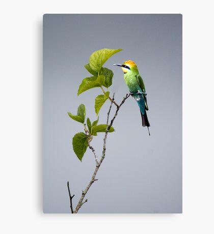 Out on a Limb - Rainbow Bee-eater Canvas Print