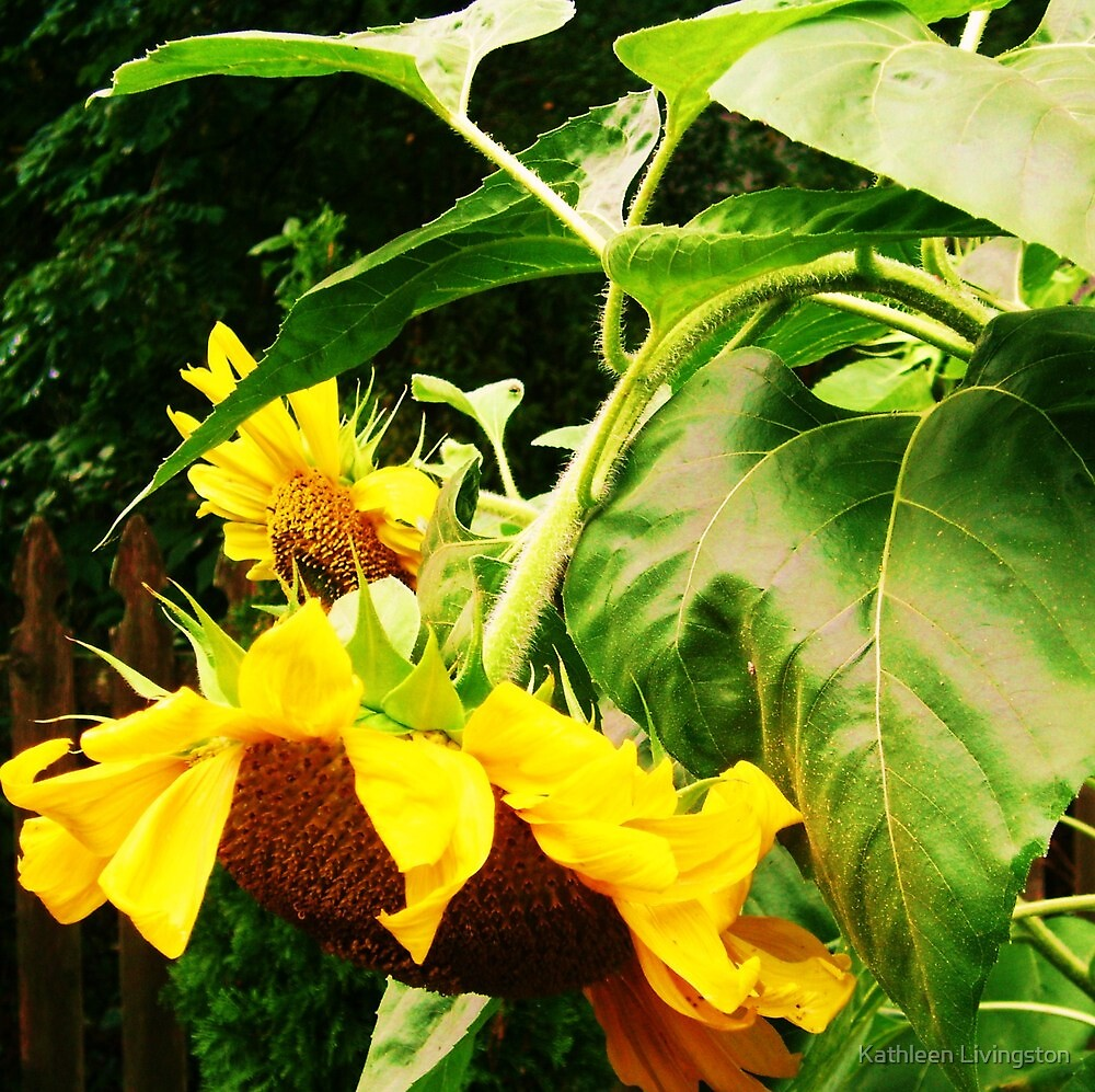 Sunflowers by Kathleen Livingston