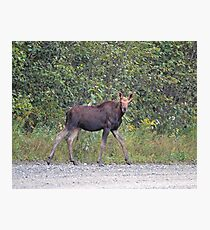 Maine Moose Photographic Print