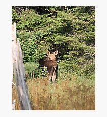 Maine Moose calf Photographic Print