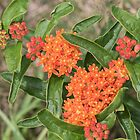 Wildflower: Orange Butterfly Weed by Laura Cardello
