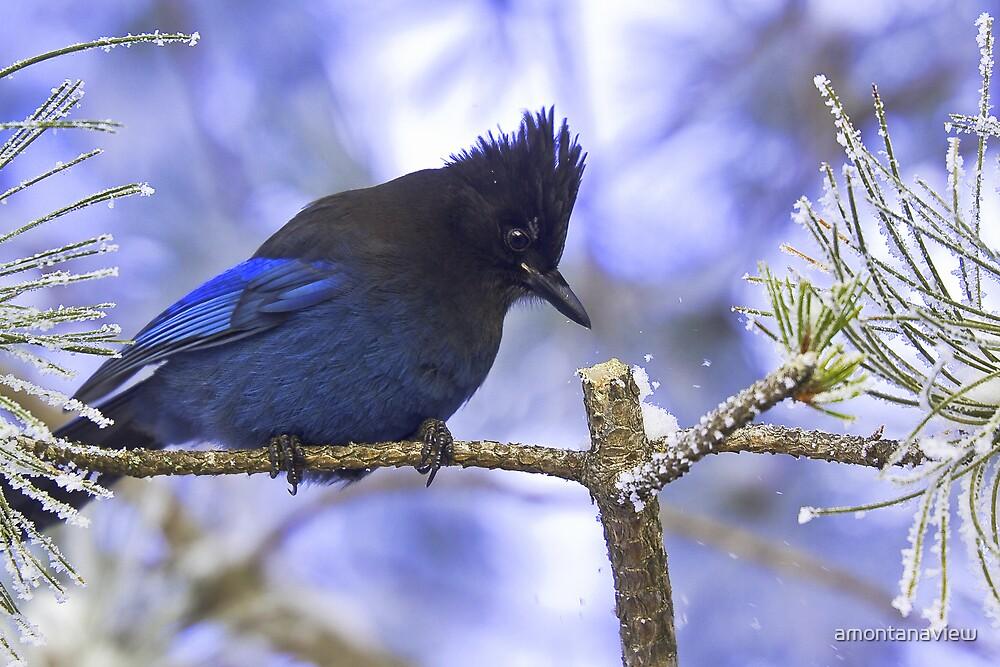 Steller's Jay in winter by amontanaview