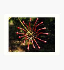 Firewheel Tree (Stenocarpus sinuatus) Art Print