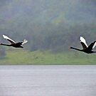Black Swans by Kym Howard