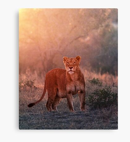 Searching For Cubs Canvas Print