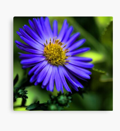 -Potted Fall Aster Canvas Print