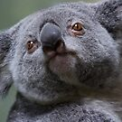 Koala Close-up by Sue  Cullumber
