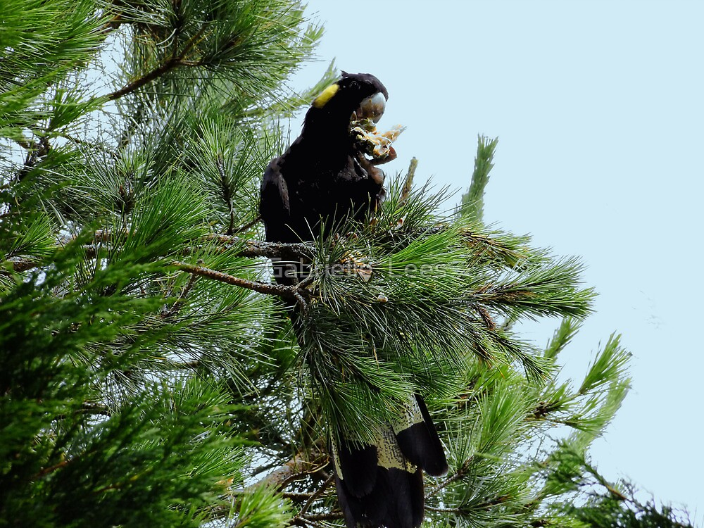 Black Cockatoo Eating a Pine Cone! by Gabrielle  Lees