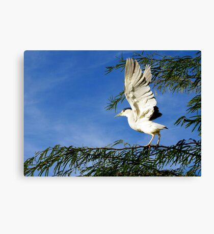 Black-crowned Night Heron ~ Stretch Canvas Print