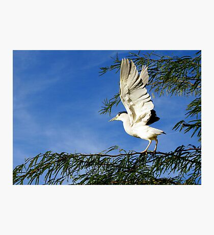 Black-crowned Night Heron ~ Stretch Photographic Print
