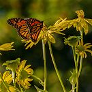 Monarchs Preparing for Their Long Migration by Gerda Grice