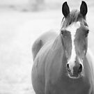 Horse in Hunter Valley by scoobysue7