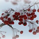 Winter Berries by Linda Miller Gesualdo