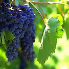 Chianti  by Snapshooter
