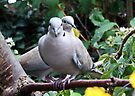 Collared Doves by AnnDixon