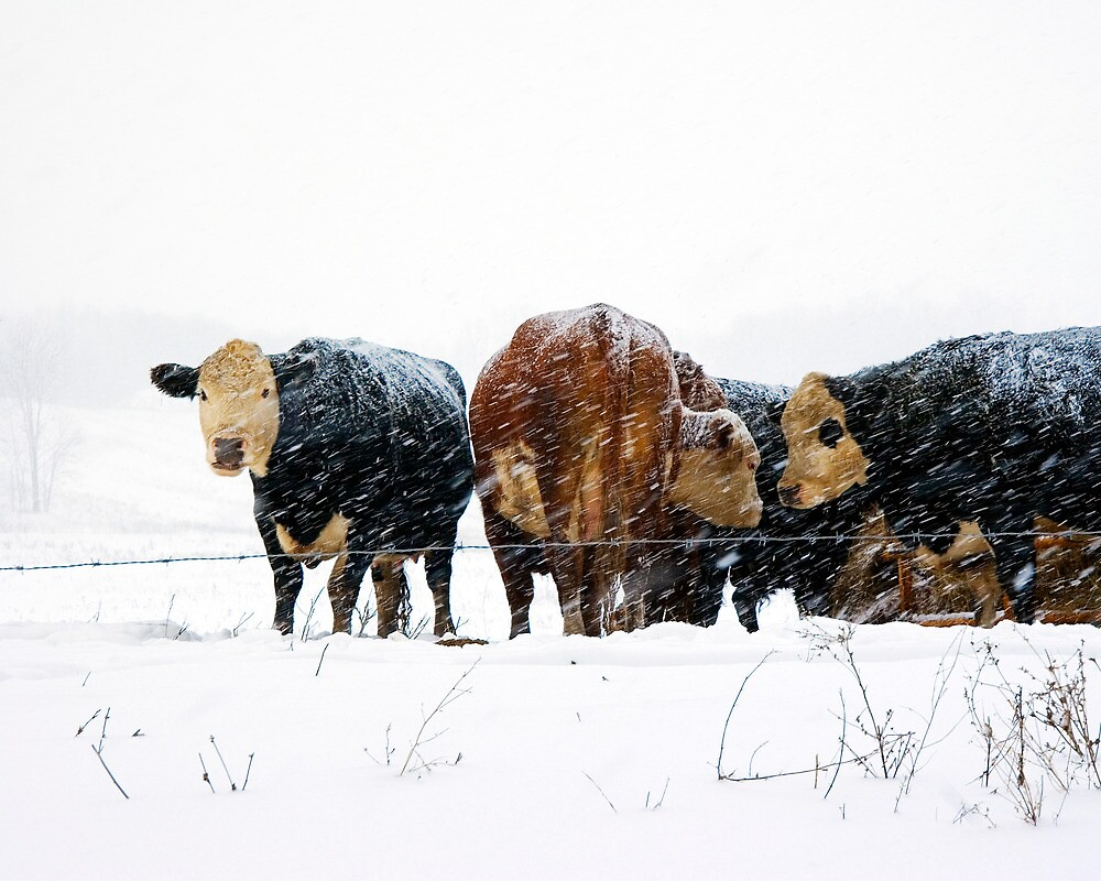 Cattle in Snowstorm 078 by Randall Nyhof