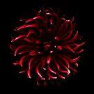 Red Spider Dahlia by Oscar Gutierrez