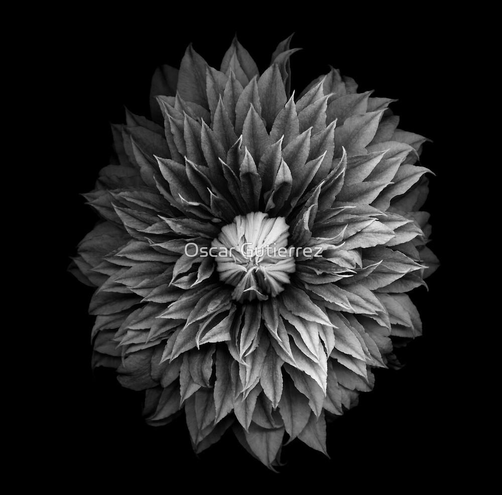 Monochrome Clematis Blossom by Oscar Gutierrez