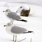 Gulls in snow... by Poete100