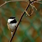 Cute Black-capped Chickadee by Michael Garson