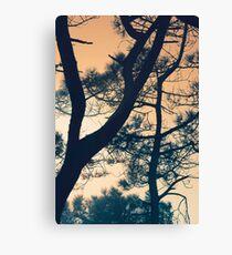 Branching - Torrey Pine Canvas Print
