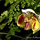 Paphiopedilum Orchid (Slipper Orchid) by Winston D. Munnings
