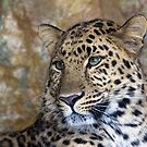 leopard  by Chris Tait
