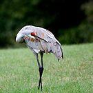 Sandhill Crane Grooming by Renee Blake